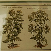 SOLD 18th Century French Hand-colored Botanicals from Plantes d'America
