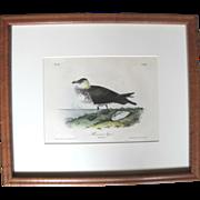 Framed John Audubon Bowen 19th Century Limited Edition Antique Plate 451 of Pomerine Jager