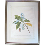 George Dionysius Ehret (1710-1770) Hand-colored Magnolia Plant Study Engraving Framed