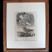 Hand Colored John Audubon Bowen Limited Edition 19th Century Plate 448 of Herringer Silvery Gu