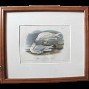 John Audubon 19th Century Bowen Limited Edition Antique Plate 447 of White Winged Silvery Gull
