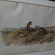 JOHN J. AUDUBON (1785-1851) original 19th century large folio lithograph print of quadruped ma