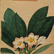 Early 19th century original hand drawn botanical drawing of tropical Plumeria