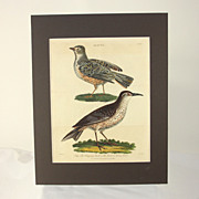 """Hand colored engraving """" The Flapping Lark and the Sirli, or African Lark"""" dated 180"""
