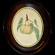 Antique PEAR FRUIT Color Engraving Book Plate, Dearborns Seedling, Oval Walnut Frame