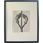 SOLD Karl Blossfeldt Photogravure: Acer Rufinerve