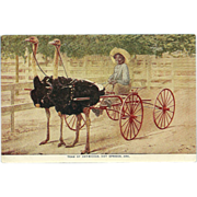SOLD Team of Ostriches, Hot Springs, Arkansas - Vintage Postcard - Red Tag Sale Item