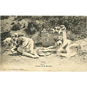 SOLD Vintage Swiss Photo Postcard of Saint Bernards and Puppies