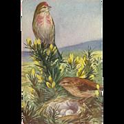 SOLD Medici Bird Series Postcard of Linnet by Mainzer