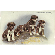 Vintage British Postcard of Newfoundland Puppies