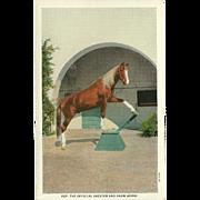 Curt Teich Postcard of Pep - Kellogg Arabian Stallion Show Horse