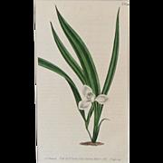 Curtis Botanical Print Plate No. 646 Marsh Marica With Mat 1803 Original Engraving
