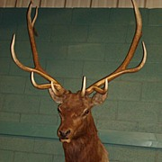 Antique Deer Mount Original Antique Taxidermy Deer Mount