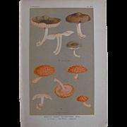 Mushroom Study chromolithograph print      Circa 1888