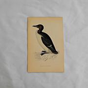 Morris Bird hand colored engraving      Circa 1878