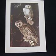 Vintage Audubon Snowy Owl Bird Print