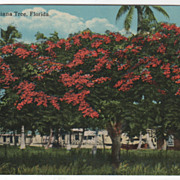 The Royal Poinciana Tree FL Florida Vintage Postcard