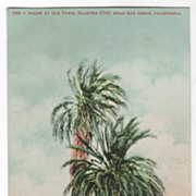 Palms at Old Town Planted 1769 San Diego CA California Vintage Postcard