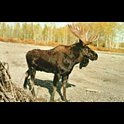 Bull Moose Vintage Animals Postcard