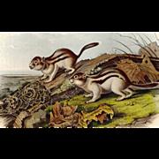 John James Audubon - Original Lithograph - Jay's Marmot Squirrel