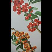 SALE Antique Buffalo Berry Chromolithograph Print