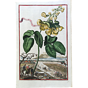 SALE Early 18th Century Johann Volckamer Hand Colored Botanical Engraving