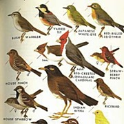 SOLD SCARCE 1961 'Field Guide To  Western Birds' and Hawaii  -  Roger Tory Peterson Illustrati