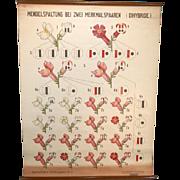 Gummert & Ruge 1929 Botanical Classroom German Wall Chart, Genetics