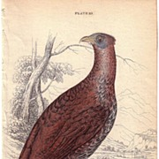 REDUCED 19th Century Engraving by LIZARS, Female Pheasant