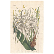 SALE Lovely Engraving from Curtis Botanical Magazine