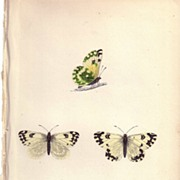 REDUCED Lovely Hand-Colored Engraving Butterfly CHEQUERED WHITE, Morris