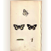 REDUCED Lovely Hand-Colored Engraving Butterfly MARBLED WHITE, Morris