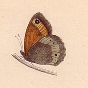 REDUCED Lovely Hand-Colored Engraving Butterfly LARGE MEADOW BROWN, Morris