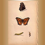 REDUCED Lovely Butterfly Print, Large TORTOISE-SHELL Plate XXIX