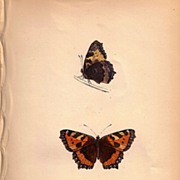 REDUCED Lovely Butterfly Print, Small TORTOISE-SHELL, Plate XXX
