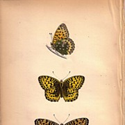 REDUCED Lovely Colored Plate from Morris Butterfly Book, DARK GREEN FRITILLARY