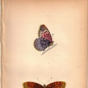 REDUCED Lovely Colored Plate from Morris Butterfly Book, VENUS FRITILLARY