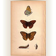 REDUCED Lovely Colored Plate from Morris Butterfly Book, SILVER-WASHED FRITILLARY