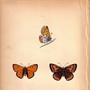 REDUCED Lovely Colored Plate from Morris Butterfly Book, LARGE COPPER