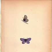 REDUCED Lovely Colored Plate from Morris Butterfly Book, MAZARINE BLUE