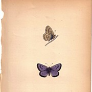REDUCED Lovely Colored Plate from Morris Butterfly Book, LARGE BLUE