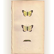 REDUCED Lovely Hand-Colored Engraving PALE CLOUDED YELLOW Butterfly