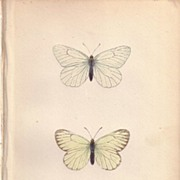 REDUCED Lovely Hand-Colored Engraving BLACK VEINED Butterfly
