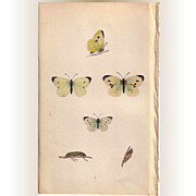 REDUCED Lovely Hand-Colored Engraving Butterfly SMALL WHITE, Morris
