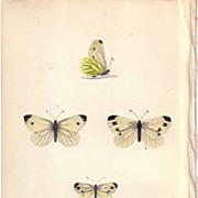 REDUCED Lovely Hand-Colored Engraving Butterfly GREEN VEINED, Morris