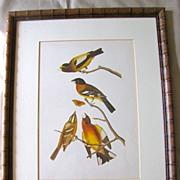 Lovely Framed Audubon Print, Black-Headed Song Grosbeak