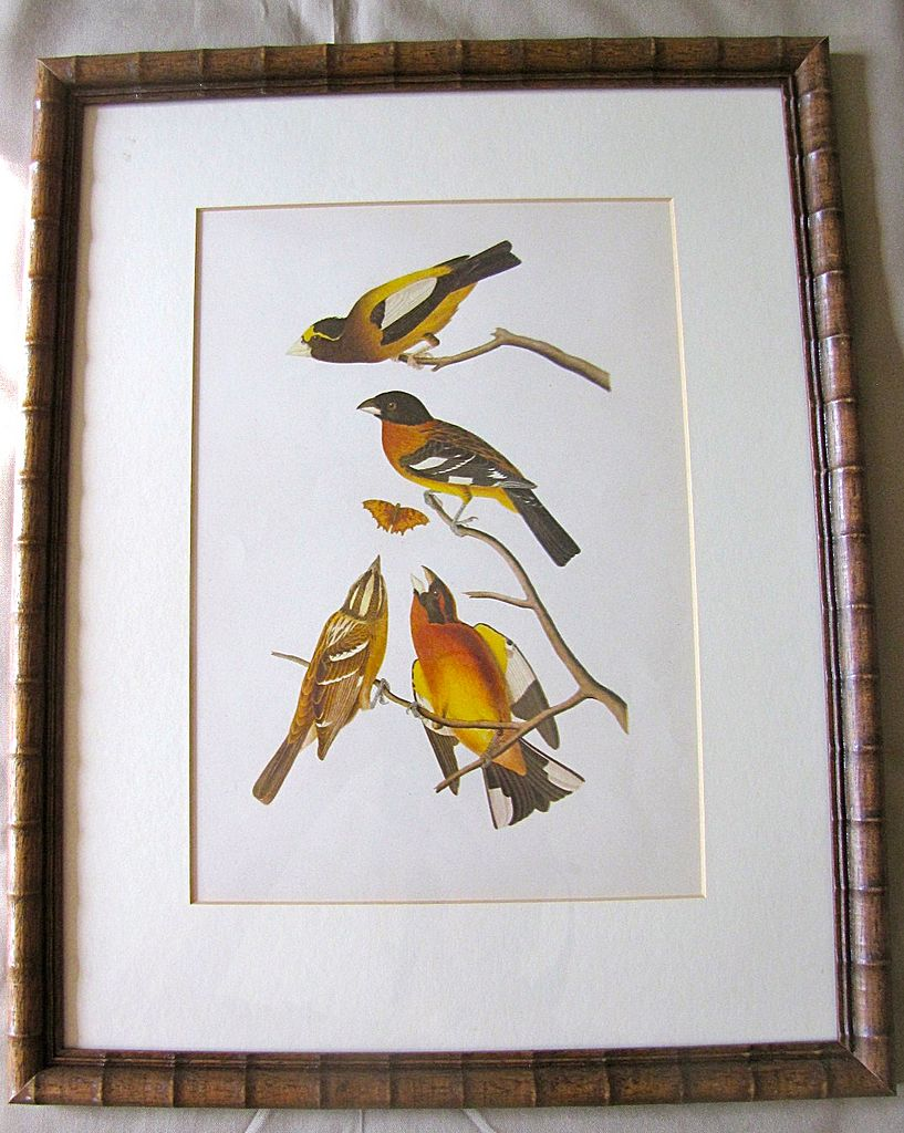 Lovely Framed Audubon Print Black Headed Song Grosbeak