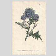 SOLD Lovely CURTIS Botanical Print circa 1806 Echinops Ritro