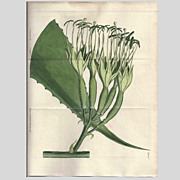 """SALE Lovely Hand-Colored Engraving from """"The Botanical Magazine"""", Curtis"""