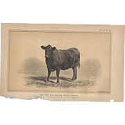 SALE Bi-Color Lithograph Polled Angus Heifer, c. 1888 Julius Bien
